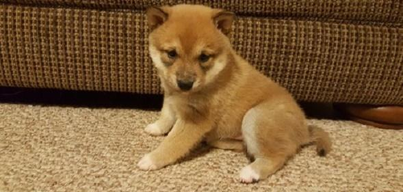 Shiba Inu Puppies Pets And Animals For Sale In The Usa Puppy And