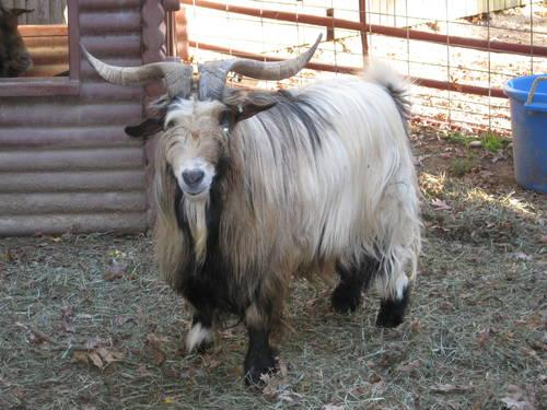 Fainting Goats For Sale In New York Classifieds Buy And