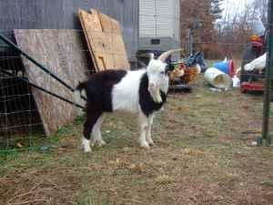 Fainting Goats - $200 (Keeling, VA)