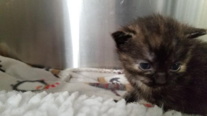 Faith Tortoiseshell Baby - Adoption, Rescue for Sale in