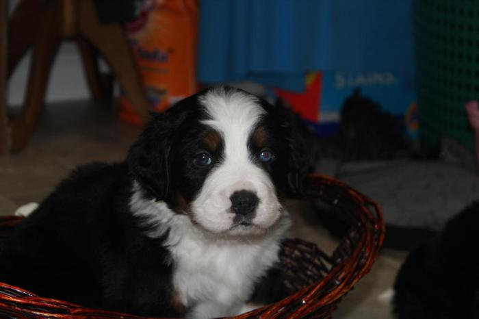 Family Raised Bernese Mountain Dog Puppies For Sale In Plain