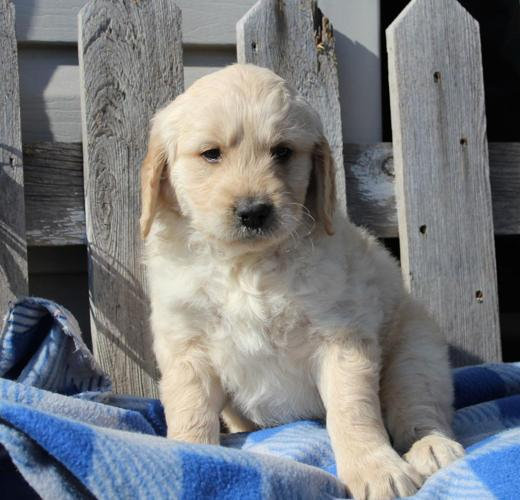 Family raised Goldendoodle puppies