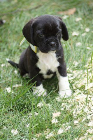 Family raised Puggle puppies