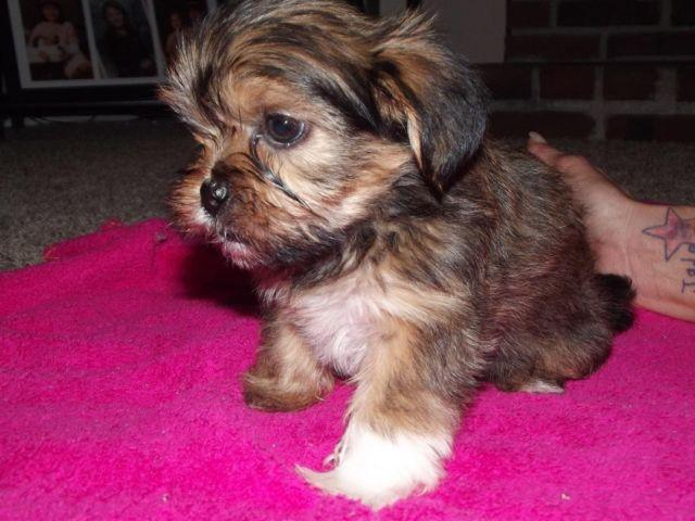 Family rasied Shorkie pups....ADORABLE!!!