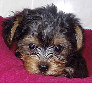 Fantastic Teacup Yorkie Puppies For Adoption For Sale In West Orange