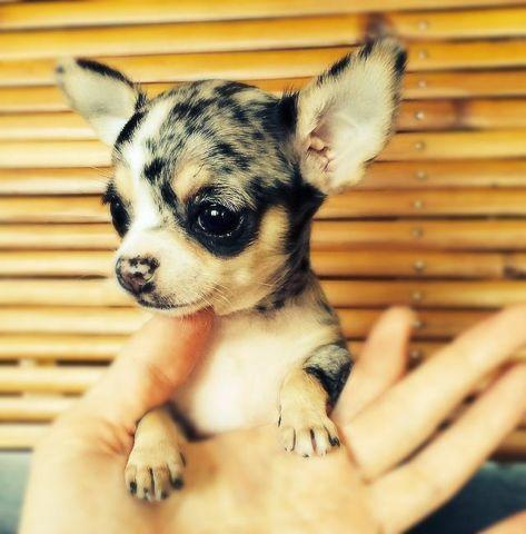 Fargo Blue Merle Applehead Chihuahua Pup For Sale In Corona