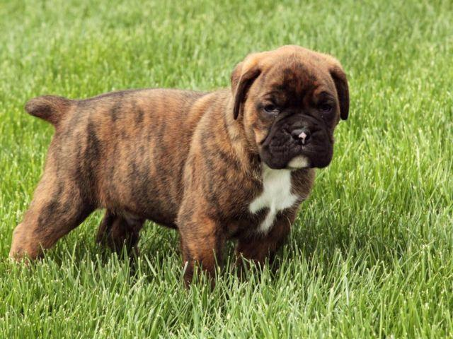 Farm Dog Cute Male Boxer Puppy Akc Registered 5 Weeks Old For Sale