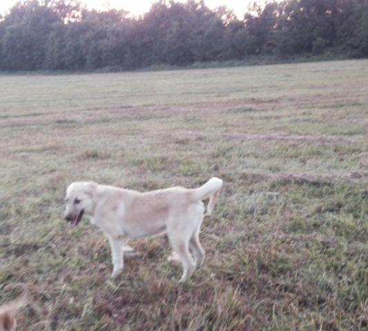 Farm Dog Or Yard Protection Anatolian Shepherd For Sale In