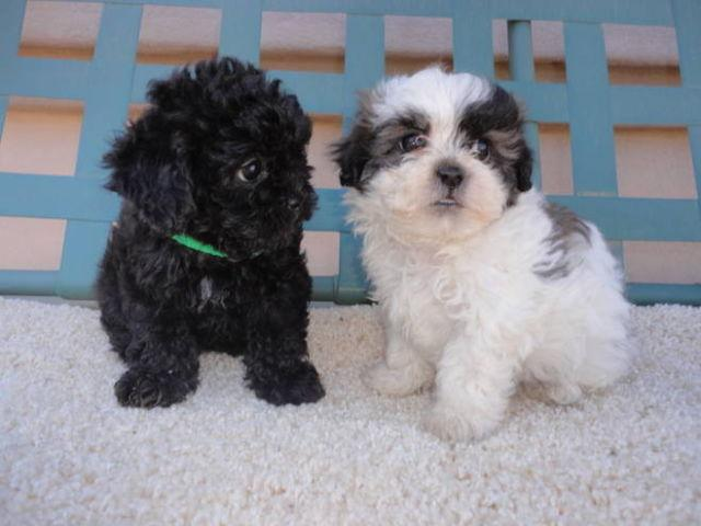 Fathers Day Puppies Cute Non Shed Shih Tzu Poodle Cross For