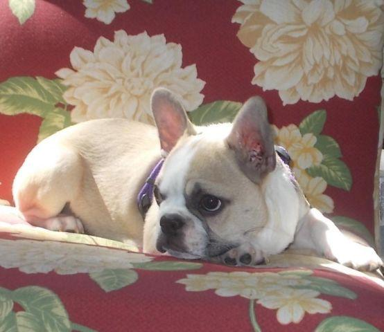 Faux Frenchie Puppies For Sale In Myrtle Creek Oregon