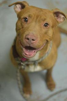 Fawn American Pit Bull Terrier Adult Female