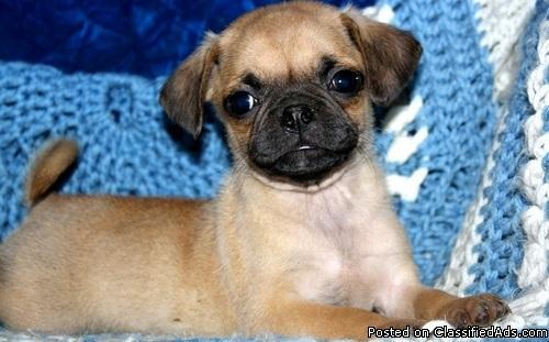 Fawn Black Mask Pug Puppies For Sale In Visalia California