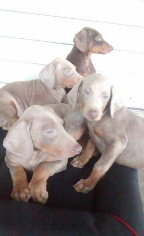 Fawn Male Doberman Puppies For Sale In Denver Colorado Classified