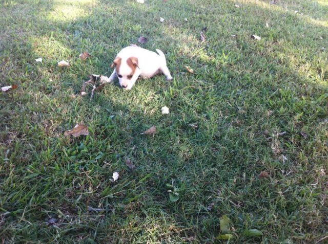 Mountain Feist Puppies For Sale In Tennessee Classifieds Buy And