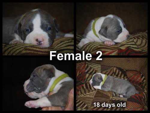 Female 1, pink, ****RESERVED****American Pitbull