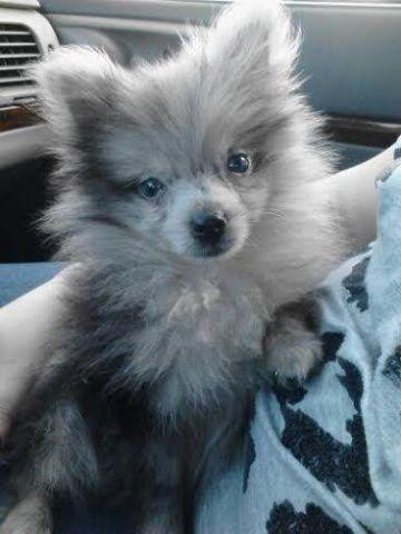 Female ACA Blue Merle Pomeranian Puppy - Rare Color - 7 ...