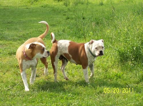 adult american bulldog for sale