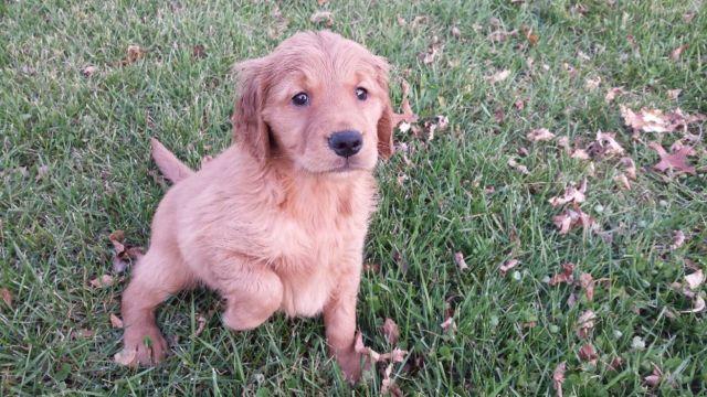 Female Akc Dark Red Golden Retriever Puppy For Sale In English Lake