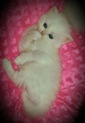 Female all white persian kitten 9 weeks ready now