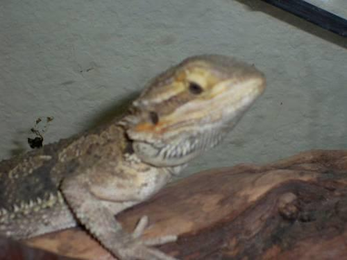 Female Bearded Dragon - 1 year old