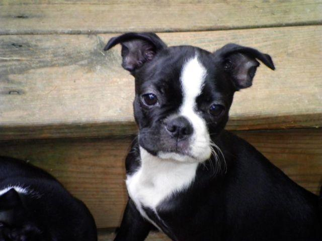 Female Boston terrier 14 weeks