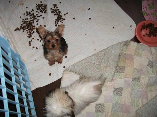 Pics Photos - Week Old Chorkie Puppy Chihuahua Yorkie Hybrid Photo ...
