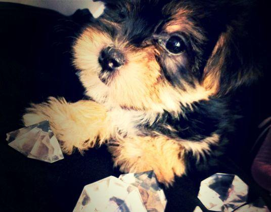 Female Ckc registered morkie