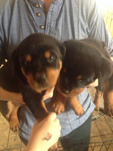 Female German Rottweiler Puppy For Sale In San Antonio Texas
