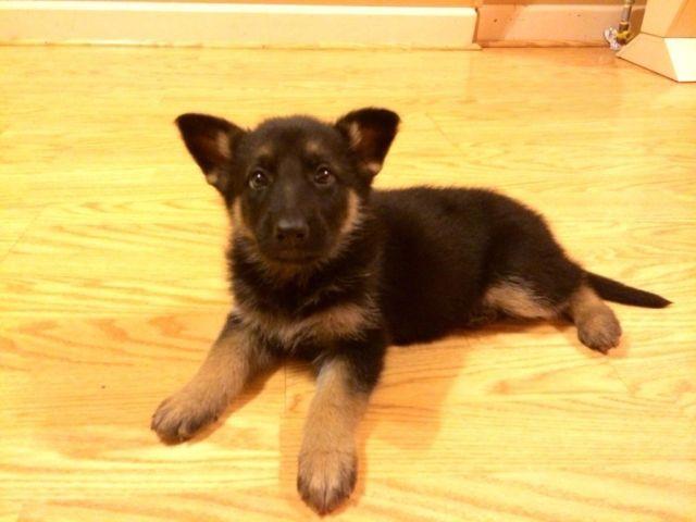 Female German Shepherd Puppy 6 Weeks For Sale In Palacios Texas