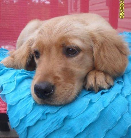 Female Golden Retriever Puppy
