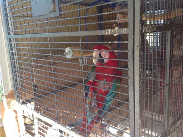 Female greenwing macaw