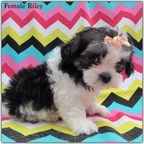 shih tzu puppies for sale in ma female malshi maltese shih tzu puppies for sale in natick 2188