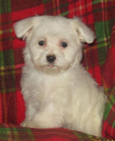 Female Maltese Puppy for Sale in Depew, Oklahoma Classified