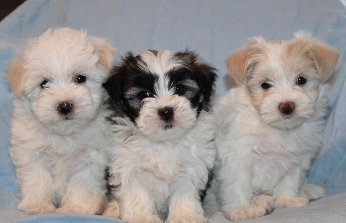 Female Maltese Shih Tzu Puppies For Sale In Hollister Missouri