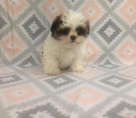 Female Malti-Zu Puppy