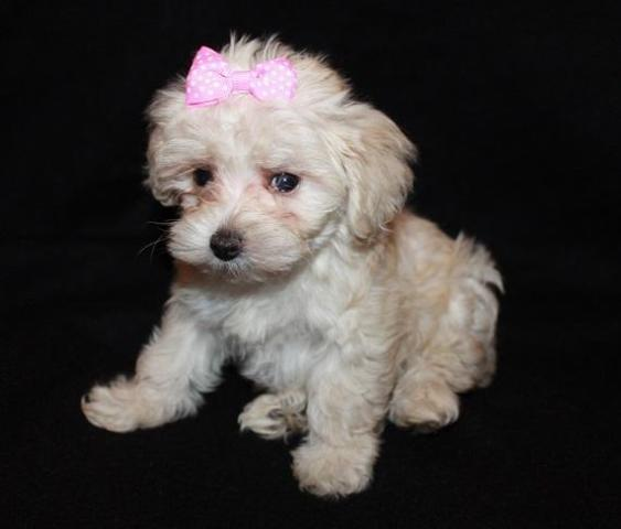 Female Maltipoo Puppy, 8 weeks Old