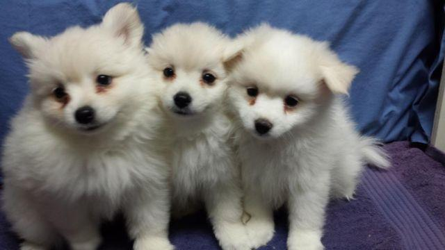 Female Pomeranian Puppies For Sale Ckc Registered For Sale In