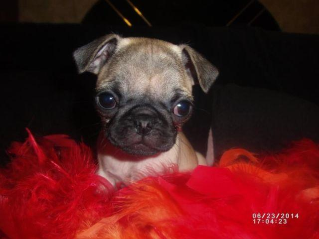 female pug for sale female pug puppies for sale for sale in murphy north carolina classified 4218