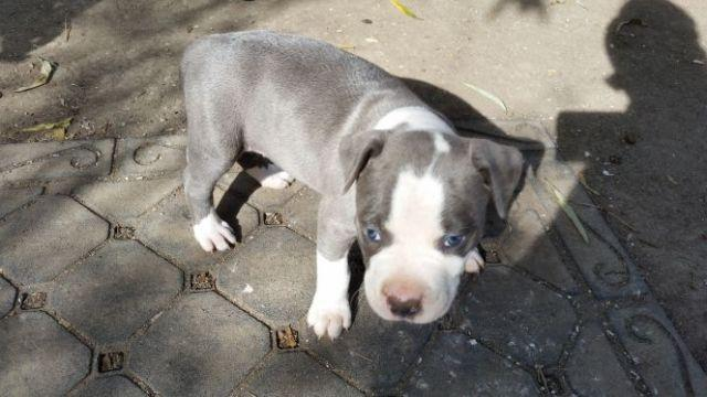 Female Puppy 11 Weeks Old Blue Nose Pitbull For Sale In Bay Point