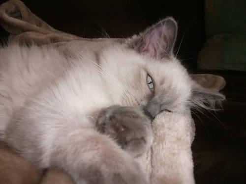 Ragdoll kittens for sale in kansas