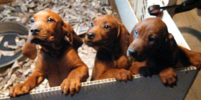 Female Redbone Coonhound Puppy Akc Ukc Registered Champion Parents