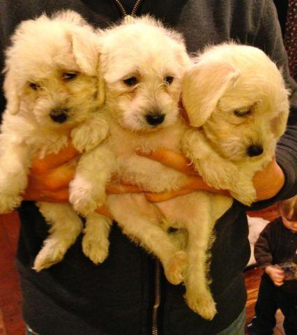 Female schnoodle babies