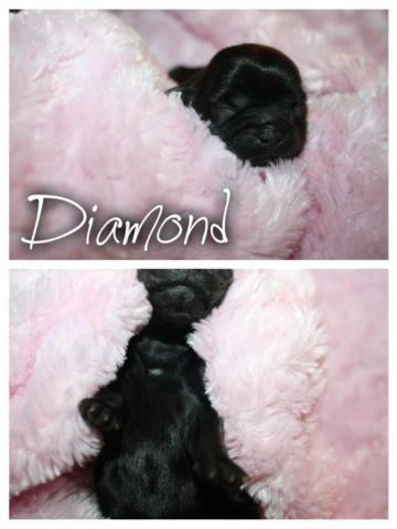 Female Shih Tzu Puppies Ready By Christmas