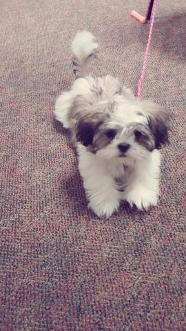 Female Shih Tzu Puppy For Sale In Hollister California Classified