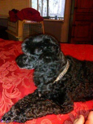 female small standard poodle