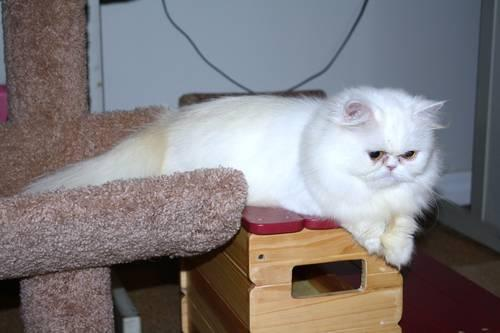 Female White Persian Cat, Amber Eyes