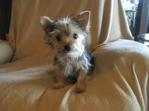 Female Yorkie Puppy 14 Weeks Old For Sale In Canton