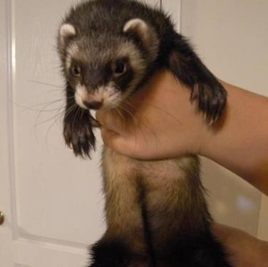 Ferret - Benita - Small - Young - Female - Small &