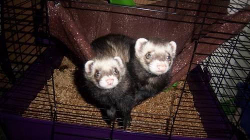 Ferrets for adoption