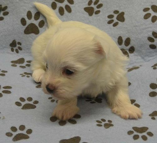 maltese for sale in va ferrty teacup maltese puppies for sale in richmond 3829